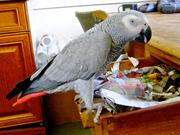 male congo african grey parrot for sale.