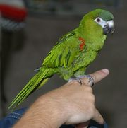 Hahns Macaw Ready To Go
