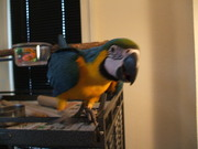 Hand Reared Baby Macaws