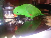 7 month old Red-Sided Eclectus w/ ALL SUPPLIES