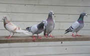 Racing Homer Pigeons for sale