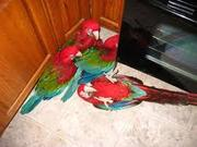 Pair of Scarlet macaws for sale.