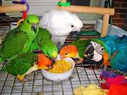 Talking parrots for good prices (301) 357-8696
