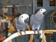 Talkative male and female congo greys.